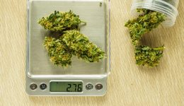 Cones of cannabis flowers on the scales. Measuring of Buds of me